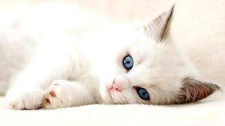 Cute Kittens  Cutest Turkish Angora Kittens!
