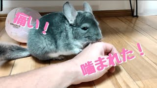 【チンチラ】チンチラに噛まれた! cute chinchil…