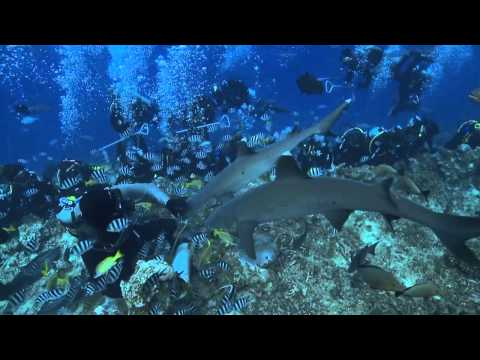 Beqa Adventure Divers - The Fiji Shark Dive