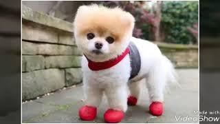 Карликовых пород собак