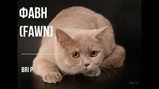 Сплошные окрасы кошек. Касается ЛЮБОЙ ПОРОДЫ  кошек различных окрасов