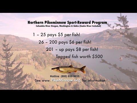 Pike Minnow Sport Reward Fishing & Columbia River Smallmouth Bass