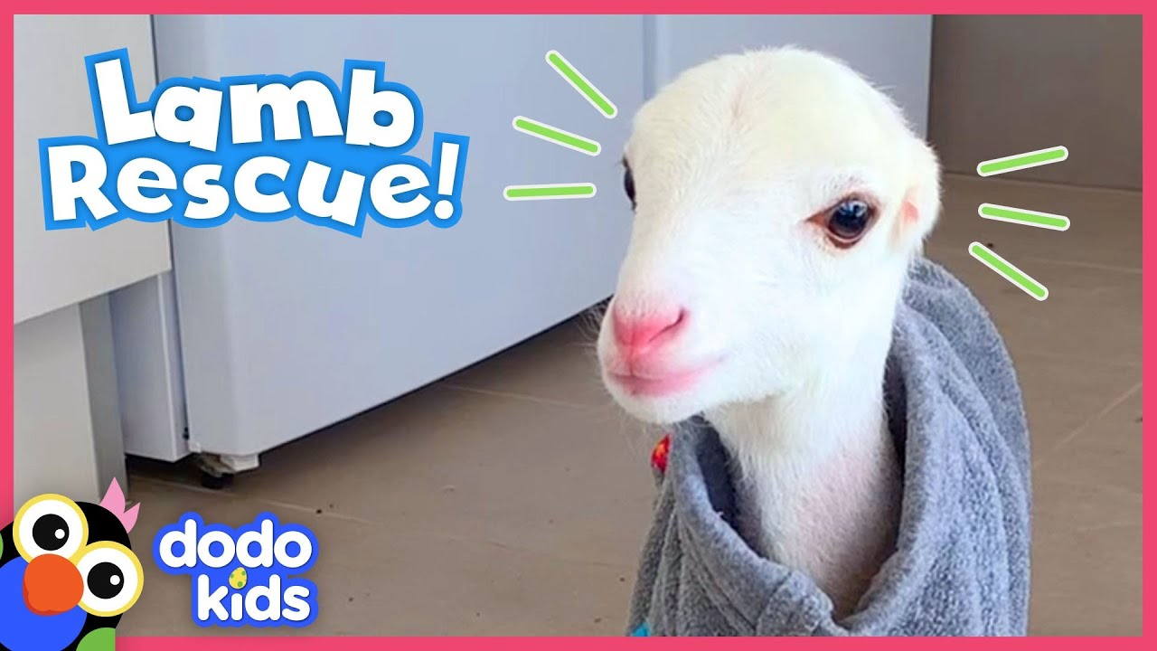 These Dog Rescuers Save A Lamb With No Ears Animal Videos For Kids Dodo Kids Youtube