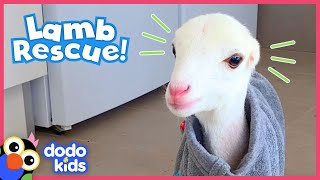 These Dog Rescuers Save a Lamb With No Ears | Animal Videos For Kids | Dodo Kids