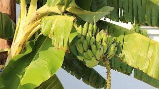 Banana Farming (केले की खेती)  In Baatein Kheti Ki - On Green TV