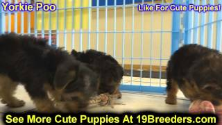 Yorkie Poo, Puppies, For, Sale, In,omaha ,nebraska, Ne,lincoln, Bellevue, Grand Island