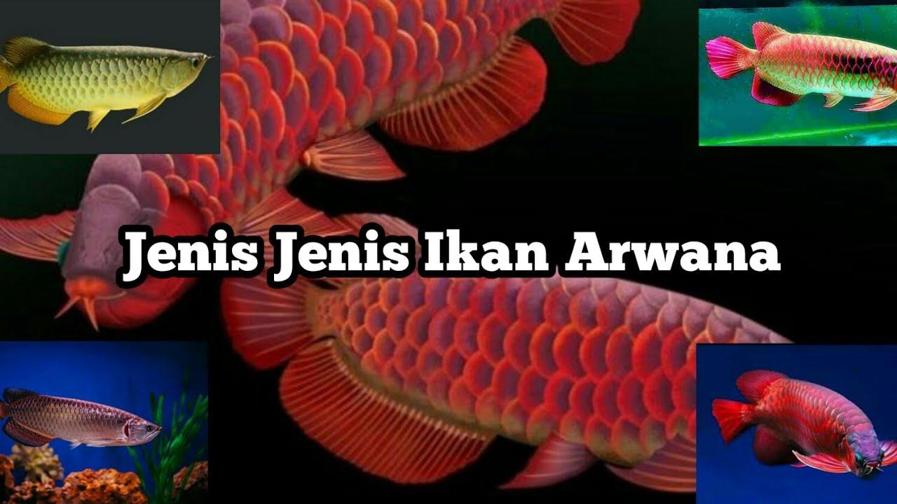 Jenis Jenis Ikan Arwana dan harganya - YouTube