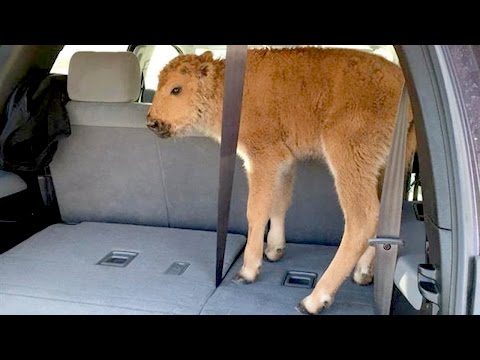 Yellowstone's Dead Baby Bison CONTROVERSY | What's Trending Now