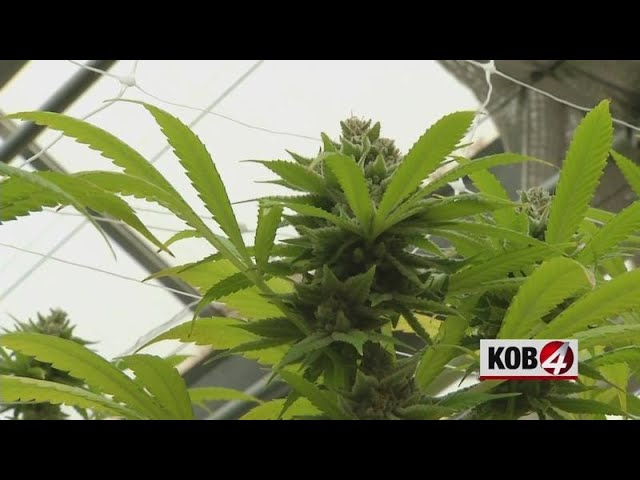 Polls show differing views of recreational marijuana in NM