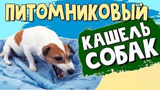 Питомниковый кашель у собак: как это выглядит