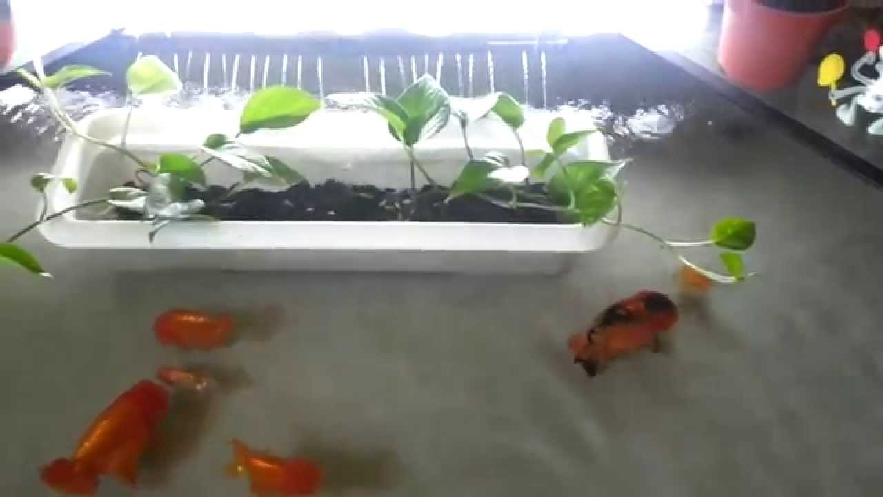 Indoor mini ranchu pond youtube for Miniature fish pond