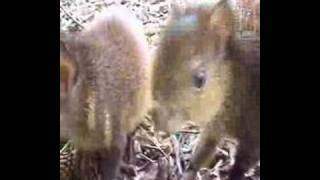 Baby Agouti tries to eat the camera