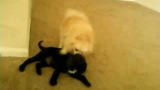 Pomeranian Playing Wth Puppy