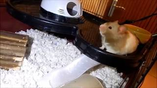 Cricket // hamster with neurological issues