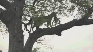Safari Live : Thandi Female Leopard on drive with Tristan this afternoon Dec 23, 2017 thumbnail