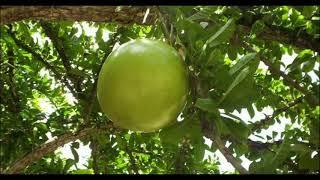 tak disangka asal usul nama kerajaan majapahit ternyata dari buah maja