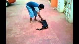 Doberman Training Video (india)