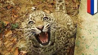 Repeat youtube video Vladimir Putin's endangered leopard