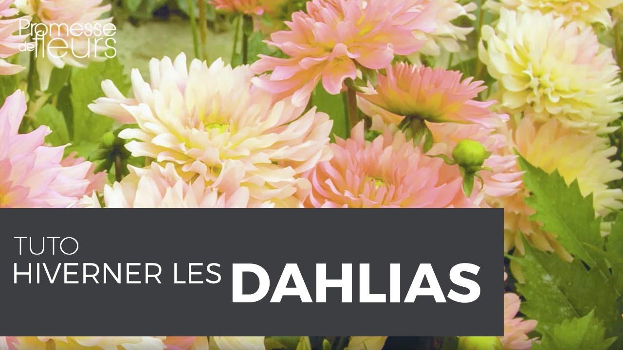 hiverner les dahlias - vidéo pour apprendre à hiverner
