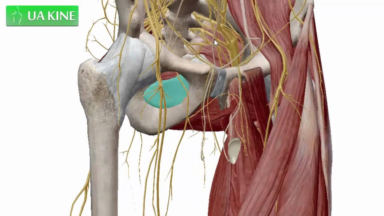 Anatomía del agujero obturador - YouTube