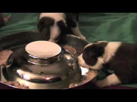 Lucy pups first supper
