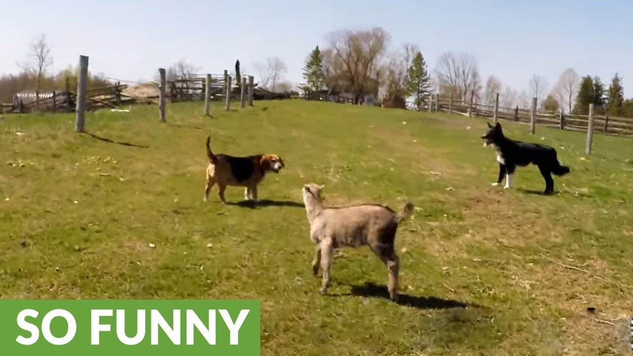 Violet The Baby Goat Thinks Shes A Puppy YouTube - Adorable pig whos grown up with dogs believes shes a puppy too