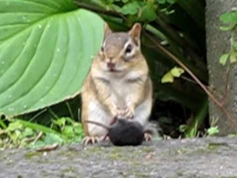 V Mouse Eating Scene Chipmunk eating a mous...