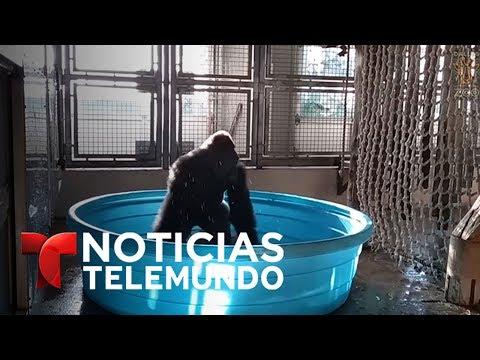 Un gorila del zoo de Dallas, experto bailarín de breakdance | Noticias | Noticias Telemundo