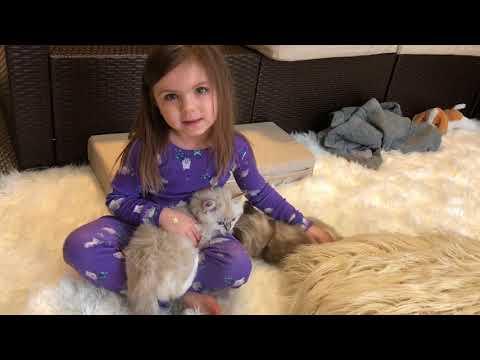 10 week old Ragdoll Kitten Prudence laying in child's lap (Angel)