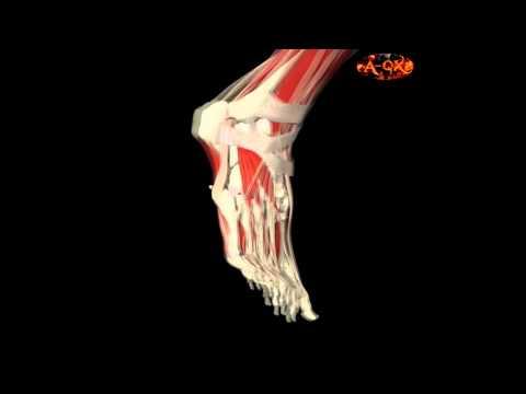 3D Анатомия мышц человека - стопа. 3D Anatomy muscles human - foot.