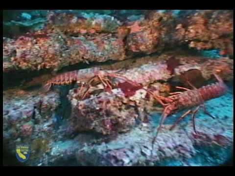 California spiny lobster panulirus interruptus youtube for Lobster fishing california