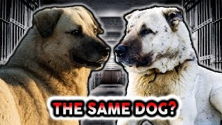 TURKISH KANGAL OR ANATOLIAN SHEPHERD! Whats The Difference?