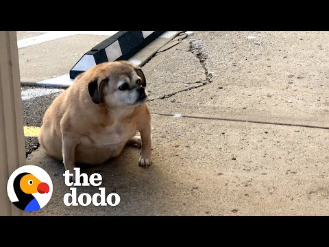 Obese Rescue Dog Can't Stop Smiling When She Loses Half Her Weight | The Dodo Faith = Restored
