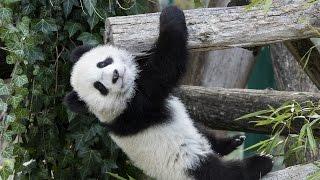 Panda-Zwillinge erstmals im Freien