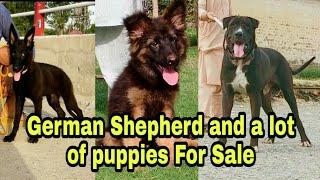 German Shepherd dog & a lot of puppies 03139393944 #Petsmart #onlinepetstore