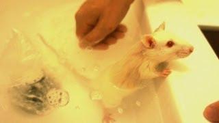 Крыска Лора ПРИНИМАЕТ ВАННУ / Mouse enjoys bath
