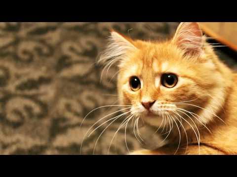 Как происходит кастрация кота