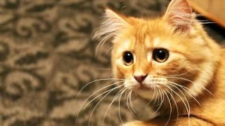 Как кастрировать кота самому в домашних условиях