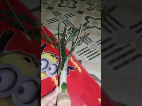 Bambu Ap Ni