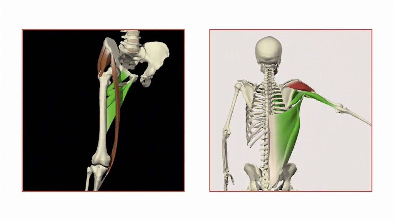 Primal Pictures 3D Functional Anatomy - YouTube