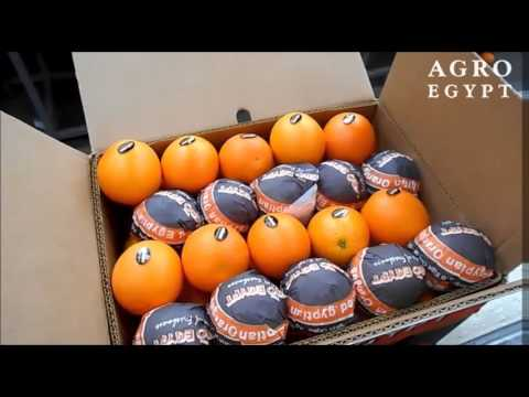 Valencia Oranges - AgroEgypt - March 2016