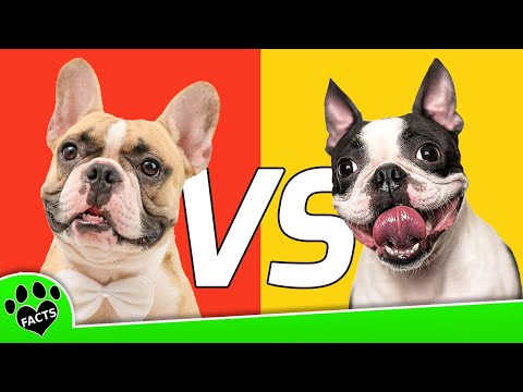 Boston Terrier vs French Bulldog - Which is Better? Dog vs. Dog