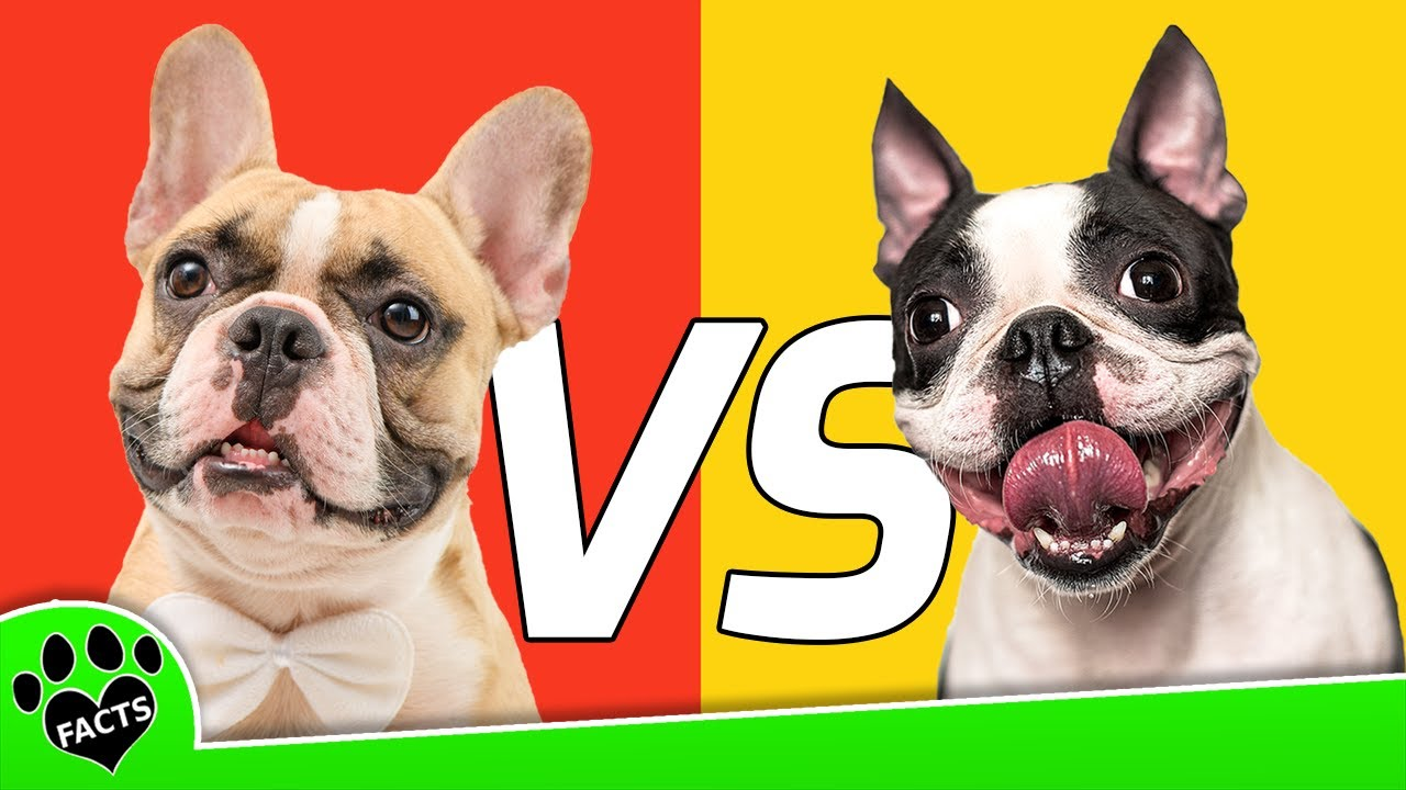 boston terrier and french bulldog french bulldog vs boston terrier which is better dog vs 7421