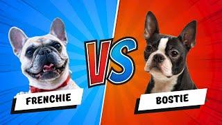 Boston Terrier vs French Bulldog - Which is Better? Dog vs. Dog