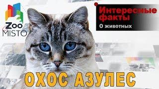 Охос азулес - Интересные факты о породе кошки | Порода кошки Охос азулес