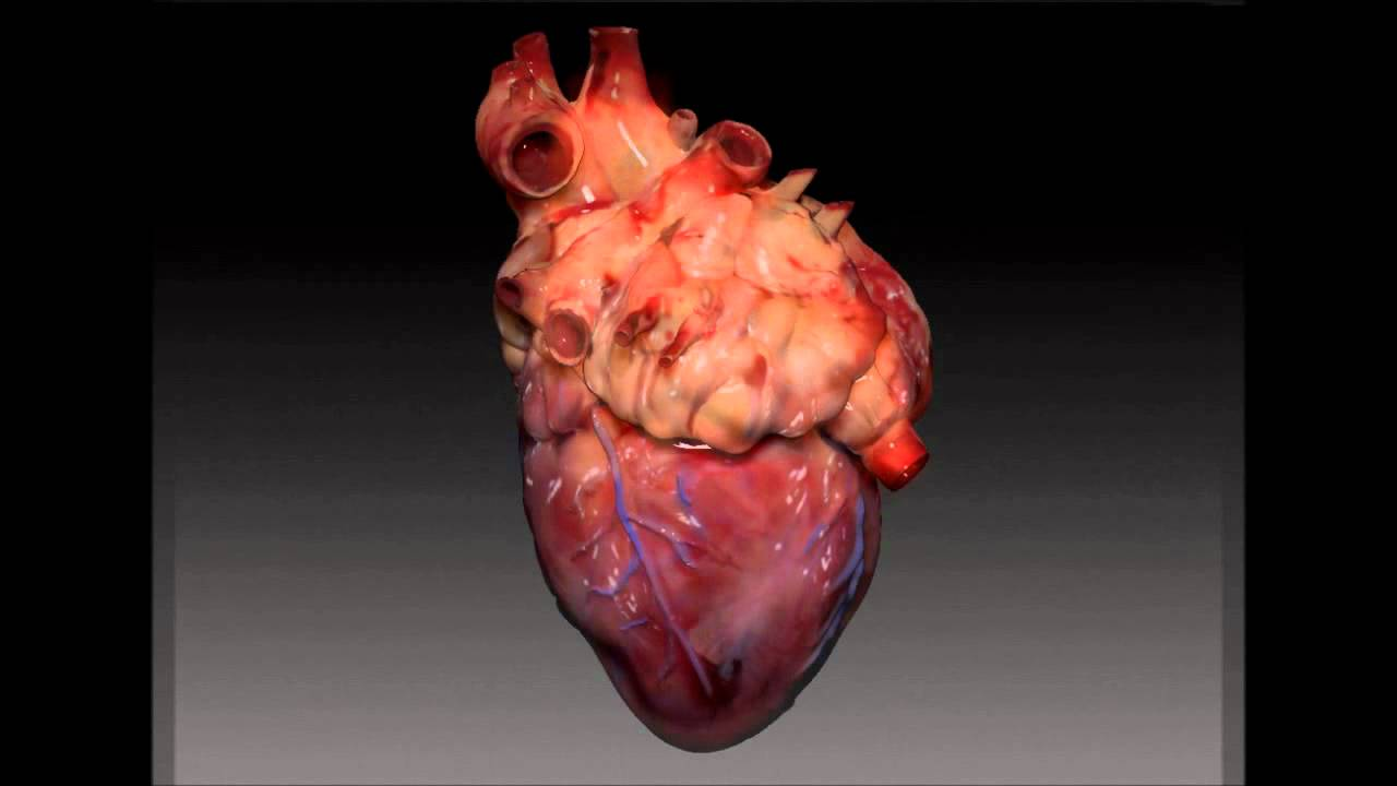 Real heart anatomy images human body anatomy heart model and animation youtube denver museum anatomy ccuart Choice Image