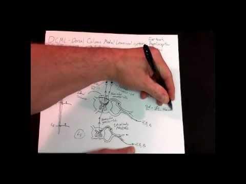 Medical neuroscience - Somatosensory pathways