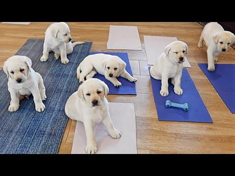 Labrador Puppies Do Yoga!!