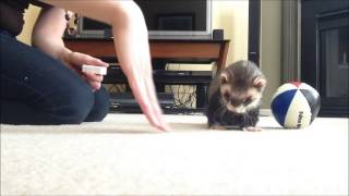 Ferret Training 206: Teaching a ferret to push a ball