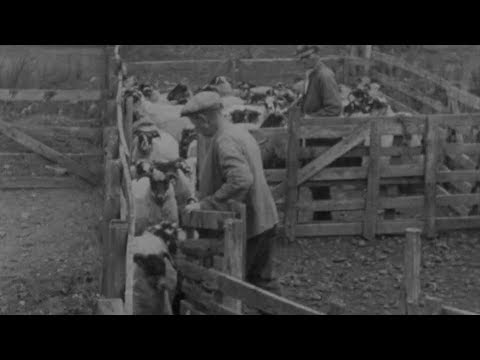 Blackfaced Sheep (1946) | BFI National Archive